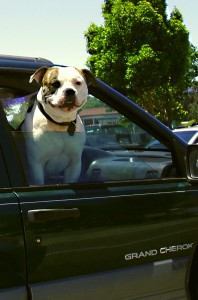 A bulldog sticking its head out the window