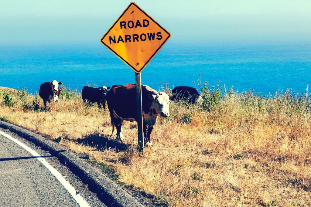 California Cow on the Pacific Coast Highway