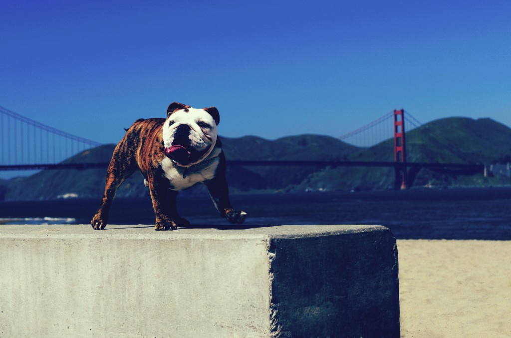 A San Francisco bulldog in front of the Golden Gate Bridge