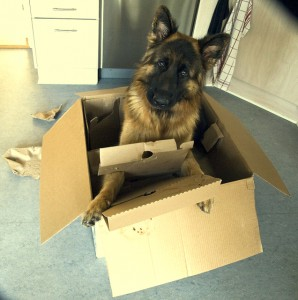 dog-playing-in-box